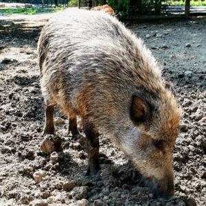 Elch, Wildschwein